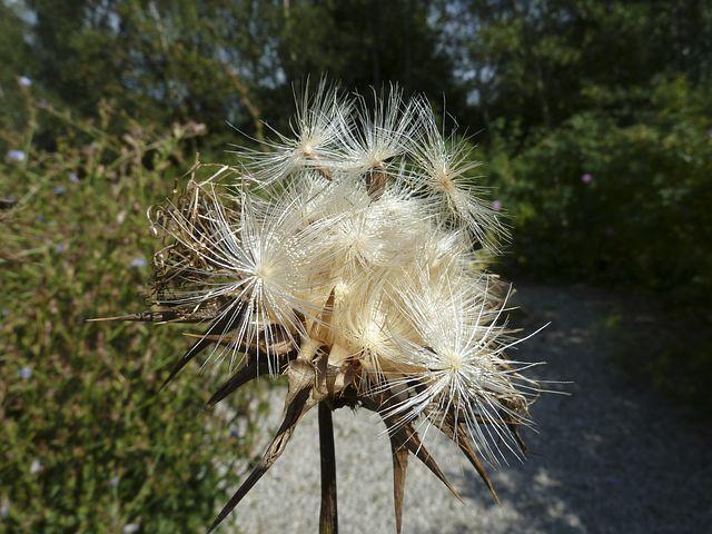 ostropestřec semenaa